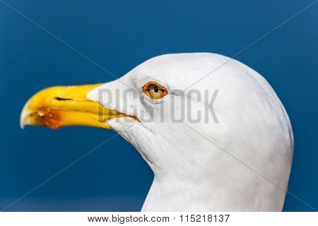 Head Of Seagull With Blue Sky In The Background