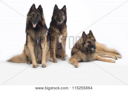 Three Dogs, Belgian Shepherd Tervuren, Isolated