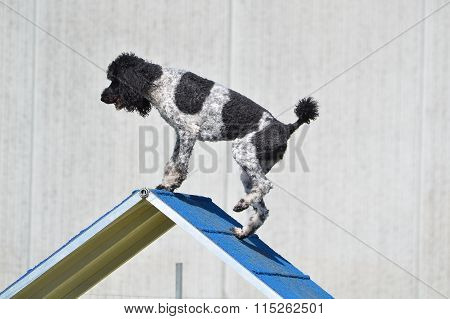 Spotted Standard Poodle At Dog Agility Trial