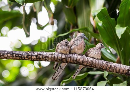 Zebra Dove Family
