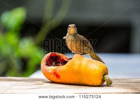 Streak-eared Bubul (Pycnonotus blanfordi) bird feeding on ripe papaya poster