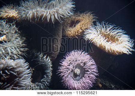 Marine Anemone