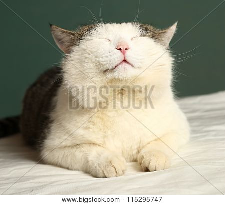 Siberian  Cat Close Up Portrait With Closed Eyes