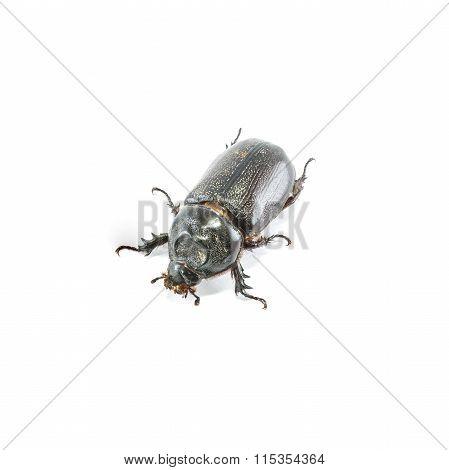 Closeup Rhinoceros Beetle Isolated On White Background
