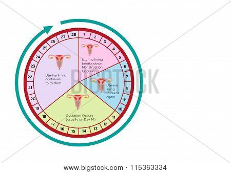 Women's Fertility Cycle Calendar with different stages. Editable Clip Art.