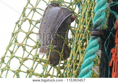 Catfish In The Net