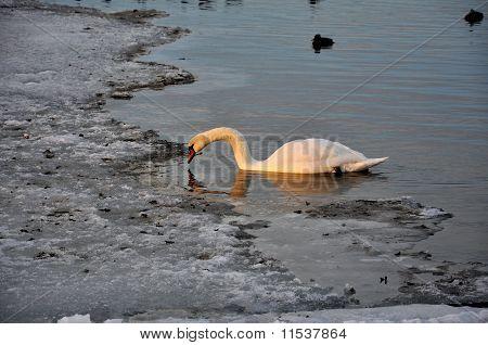 Svane i den hårde vinter; Roskilde fjord; dansk