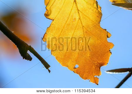 Yellow Leaf With Tiny Twigs In Sunlight. Background With Autumn Leaf, Photo Of Sunlight Through Fres