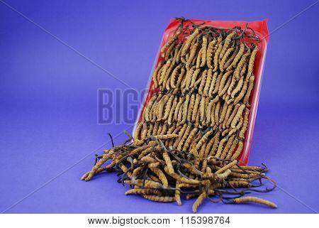 The Caterpillar Fungus