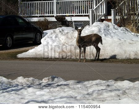 Whitetail Deer in Front of a House