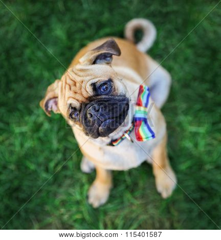 a cute pug with a rainbow colored bow tie looking at the camera on green grass during summer
