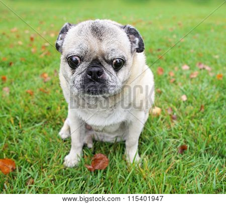 an old pug looking down at the grass deep in thought