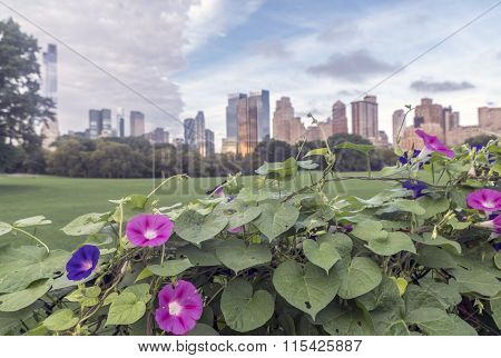 Ipomoea nil is a species of morning glory on fence in Central Park poster