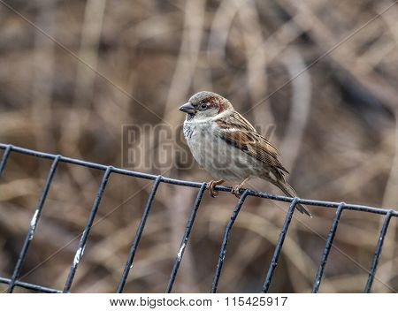 House Sparrow Perched On Fence