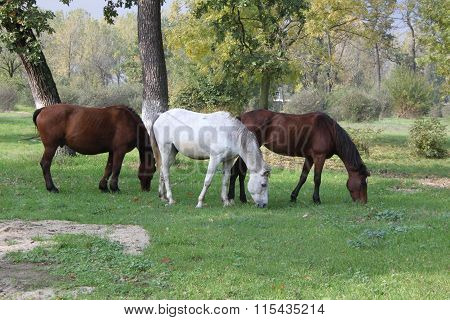 Three horses grazing in a forest clearing