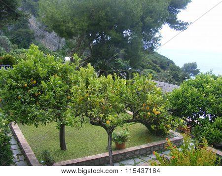 Lemon tree with small yellow ripe fruits