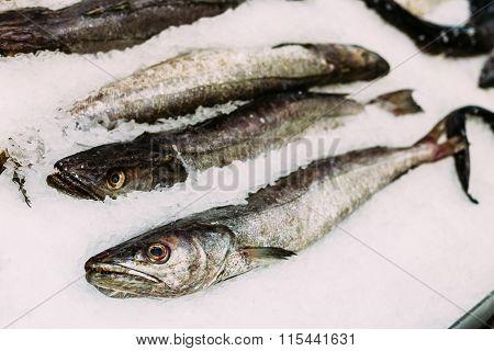Fresh fish merluza or hake on ice on market store shop.