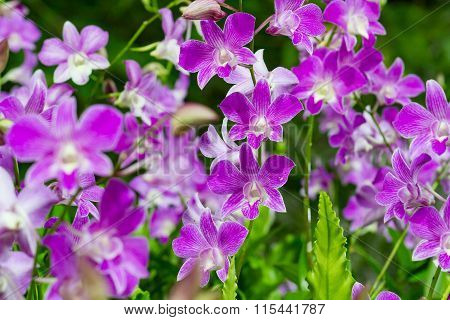 Beautiful Violet Orchid Flowers in the garden