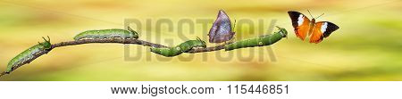 Caterpillar And Tawny Rajah Butterfly