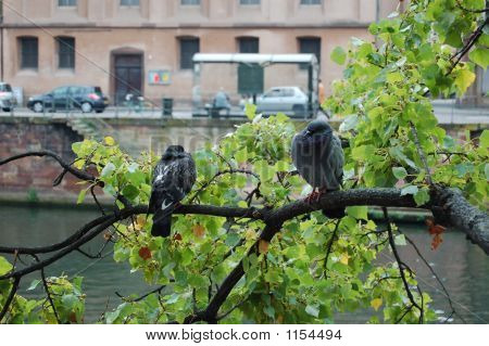 Two French Birds On A Branch