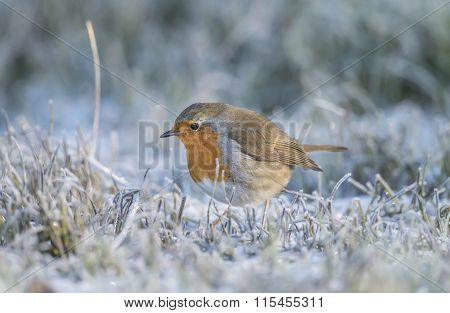 Robin redbreast Erithacus rubecula perched on frosty grass