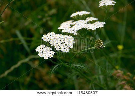 Close-up of yarrow flowers