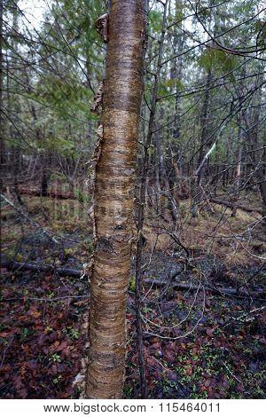 Trunk of a Birch Tree