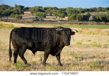 Specimen Of Spanish Free Range Fighting Bull Breed On Extensive Estates