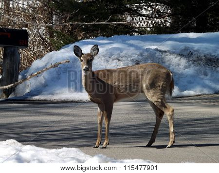 Whitetail Deer in Front of a Snowbank