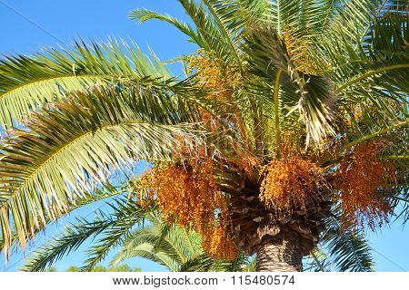 Crohn's palms with fruits brightly illuminated by the sun