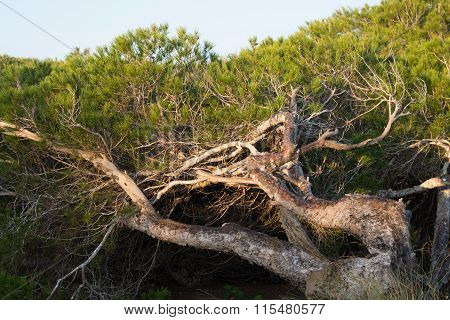 Windswept Pine Trees