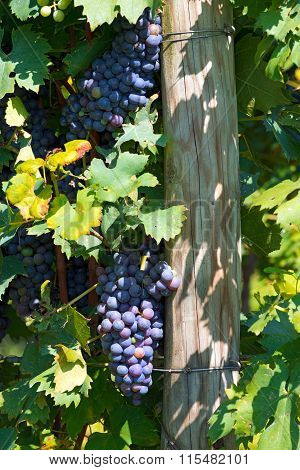 Black Grape Italy
