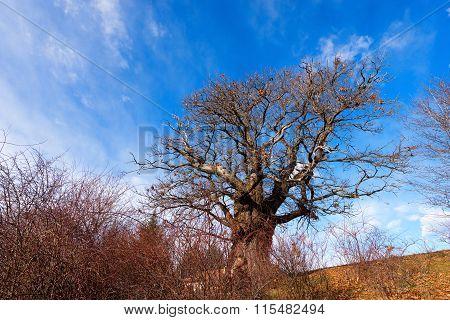 Chestnut Tree In Winter