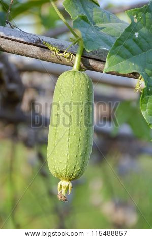 Sponge Gourd in garden