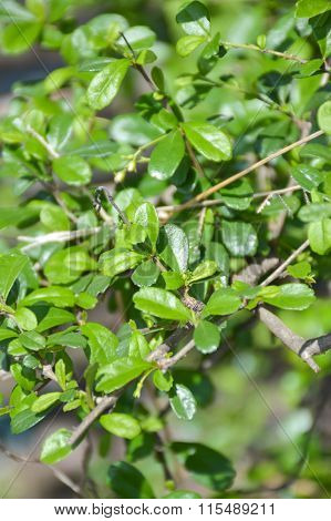 green fukien tea leaves in nature garden