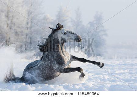 Grey purebred Spanish horse sliding on ice