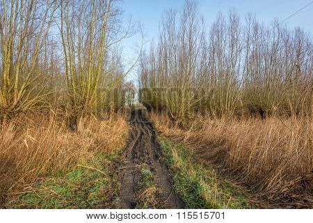 Muddy Access Path To A Forest Of Pollard Willows