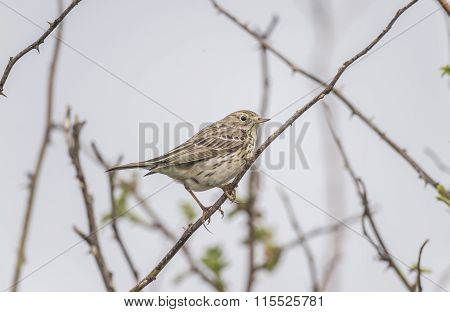 Meadow pipit, Anthus pratensis, on a branch