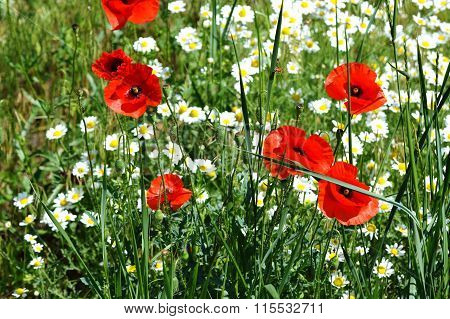 Red Poppy and White Chamomile flowers in the green field