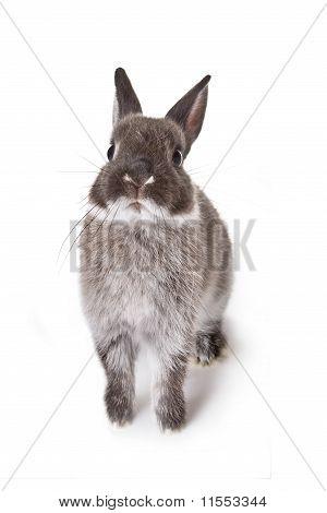 Gray Little Rabbit