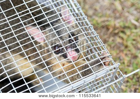 A brushtail possum is caught in a cage as a trap in Melbourne, Victoria, Australia poster