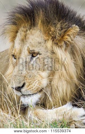 Portrait of a male Lion In Kruger National Park
