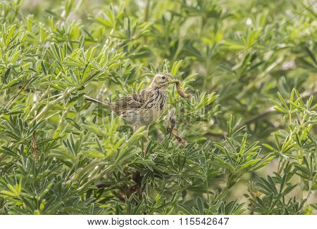 Meadow pipit perched in a bush with bugs in its beak