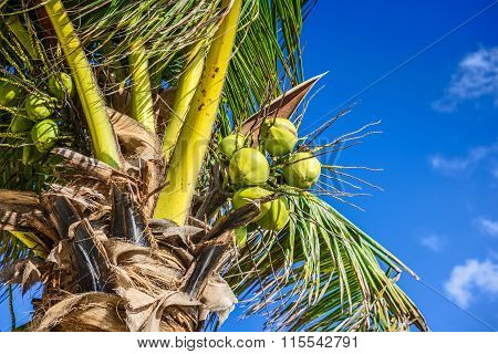 Fresh Coconut On Coconut Tree. Green Coconut On Palm Tree.