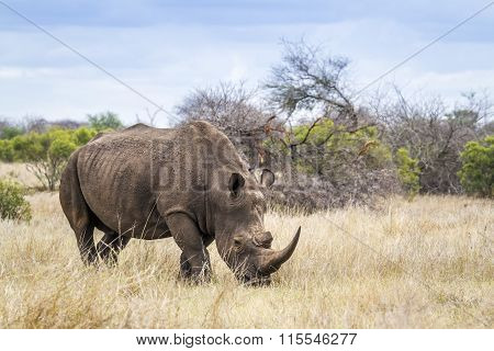 Southern White Rhinoceros In Kruger National Park