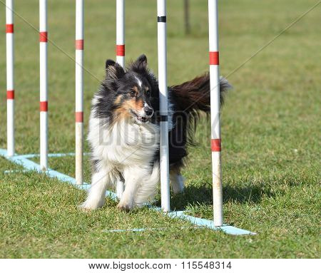 Tricolor Shetland Sheepdog (Sheltie) Weaving Through Poles at Dog Agility Trial poster