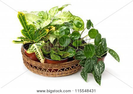 Syngonium ,croton And Other Potted Plants