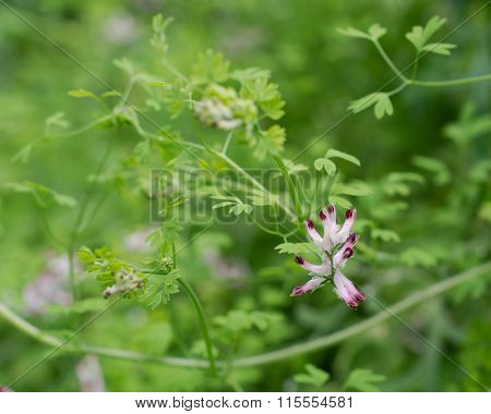 Common fumitory (Fumaria officinalis) in flower