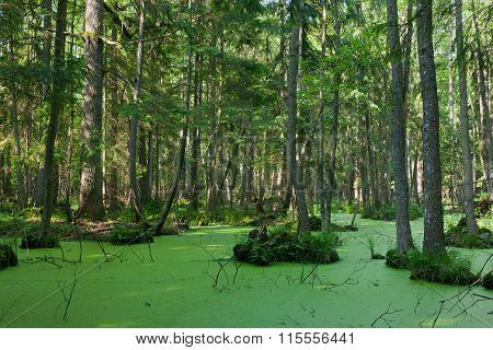 Natural Stand Of Bialowieza Forest With Standing Water And Duckweed