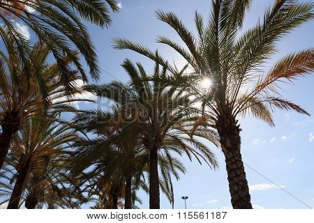 Palm trees with sunshine in Majorca Spain